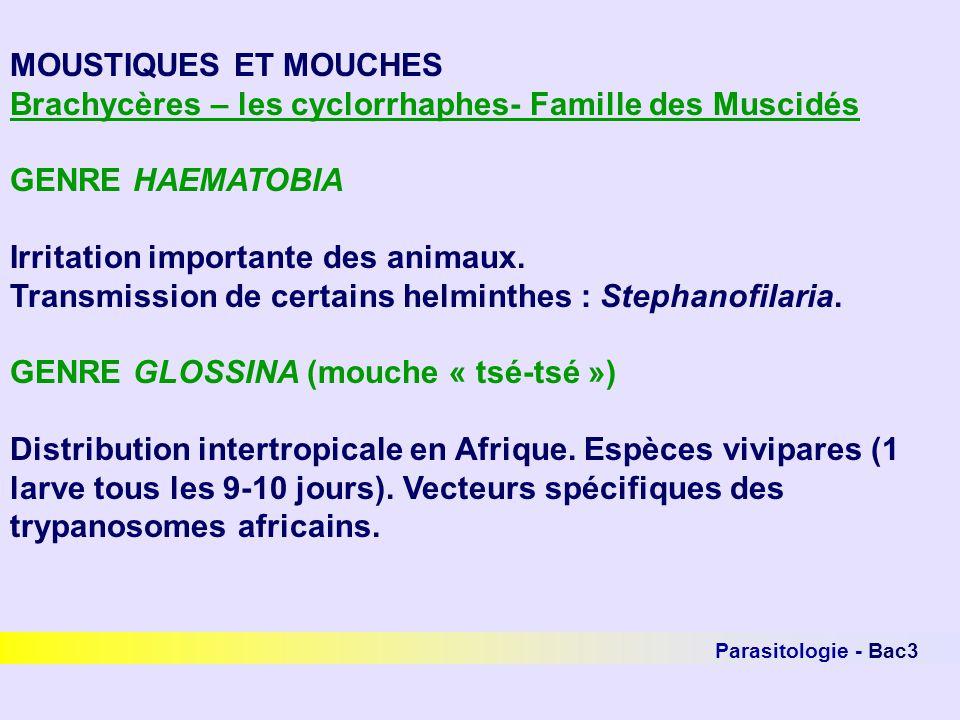 Brachycères – les cyclorrhaphes- Famille des Muscidés GENRE HAEMATOBIA
