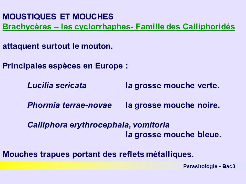 Brachycères – les cyclorrhaphes- Famille des Calliphoridés