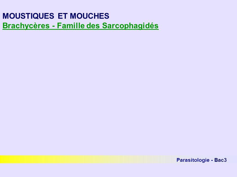 Brachycères - Famille des Sarcophagidés