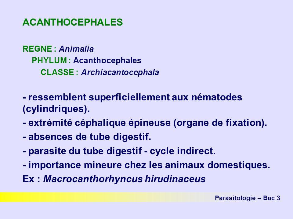 - ressemblent superficiellement aux nématodes (cylindriques).
