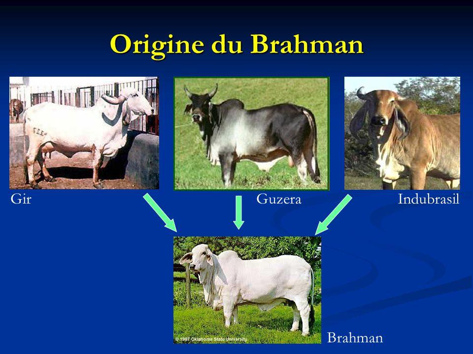 Origine du Brahman Gir Guzera Indubrasil Brahman