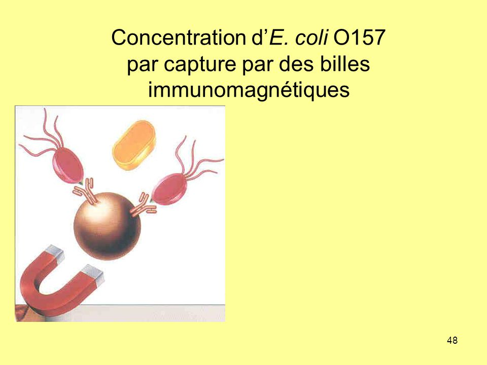 Concentration d'E. coli O157 par capture par des billes immunomagnétiques