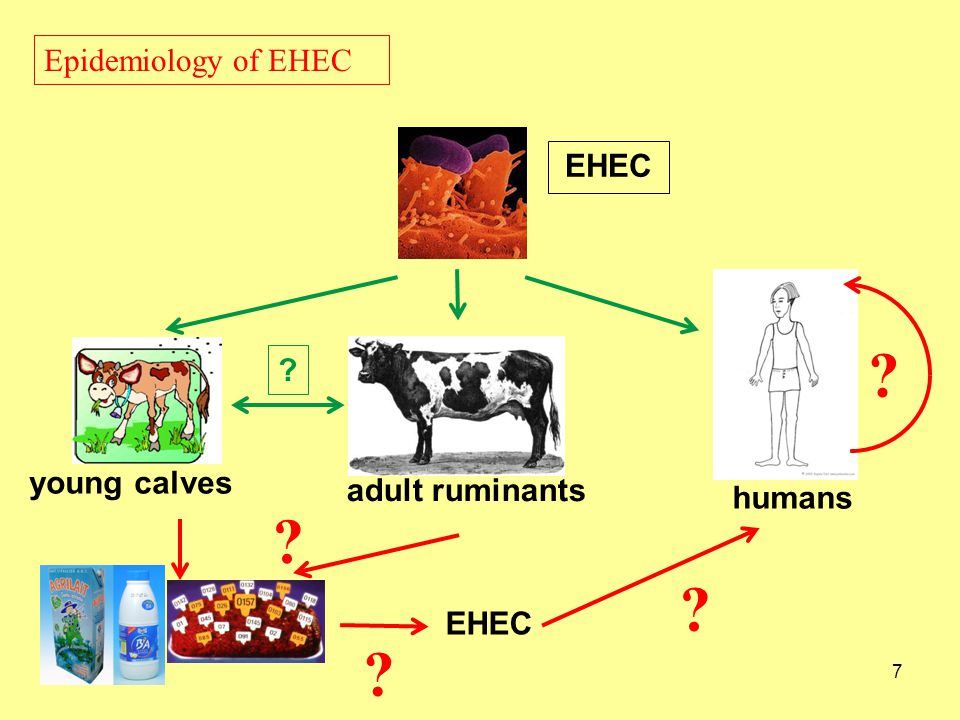 Epidemiology of EHEC EHEC young calves adult ruminants humans