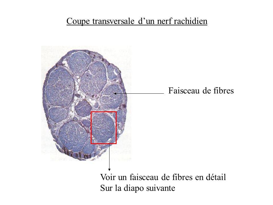 Coupe transversale d'un nerf rachidien