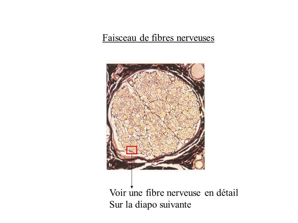Faisceau de fibres nerveuses