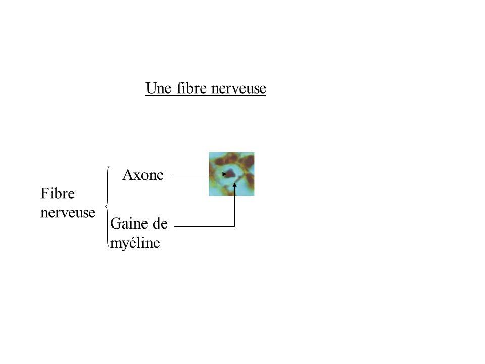Une fibre nerveuse Axone Fibre nerveuse Gaine de myéline