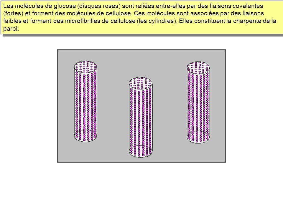 Les molécules de glucose (disques roses) sont reliées entre-elles par des liaisons covalentes (fortes) et forment des molécules de cellulose.