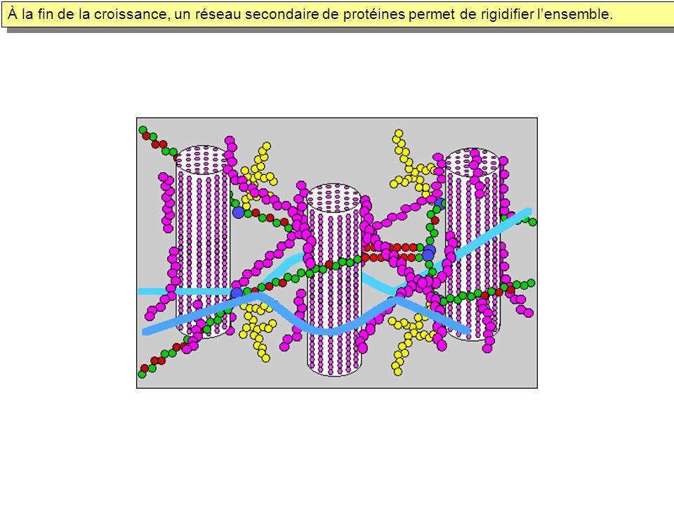 À la fin de la croissance, un réseau secondaire de protéines permet de rigidifier l'ensemble.