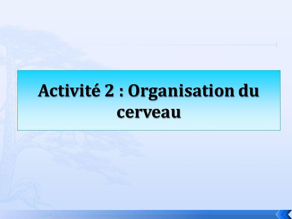 Activité 2 : Organisation du cerveau