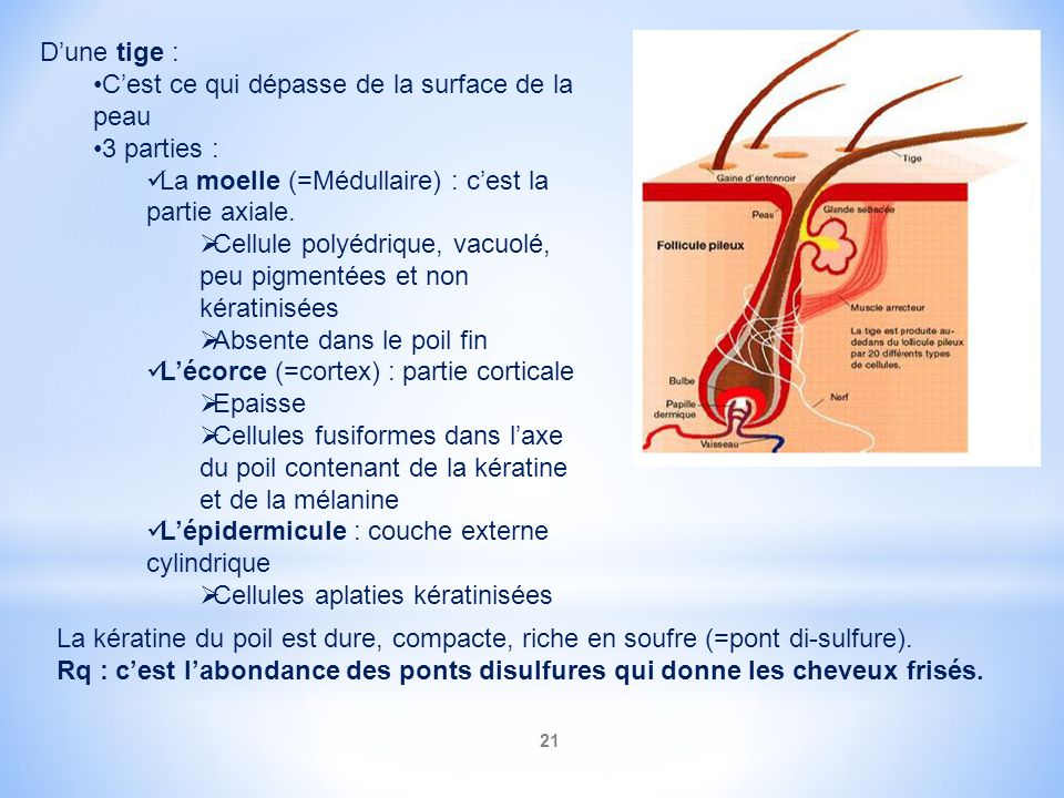 D'une tige : C'est ce qui dépasse de la surface de la peau. 3 parties : La moelle (=Médullaire) : c'est la partie axiale.