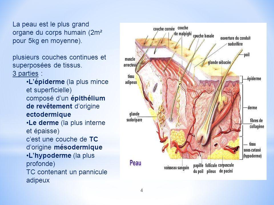 La peau est le plus grand organe du corps humain (2m² pour 5kg en moyenne).
