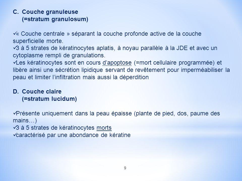 Couche granuleuse (=stratum granulosum)