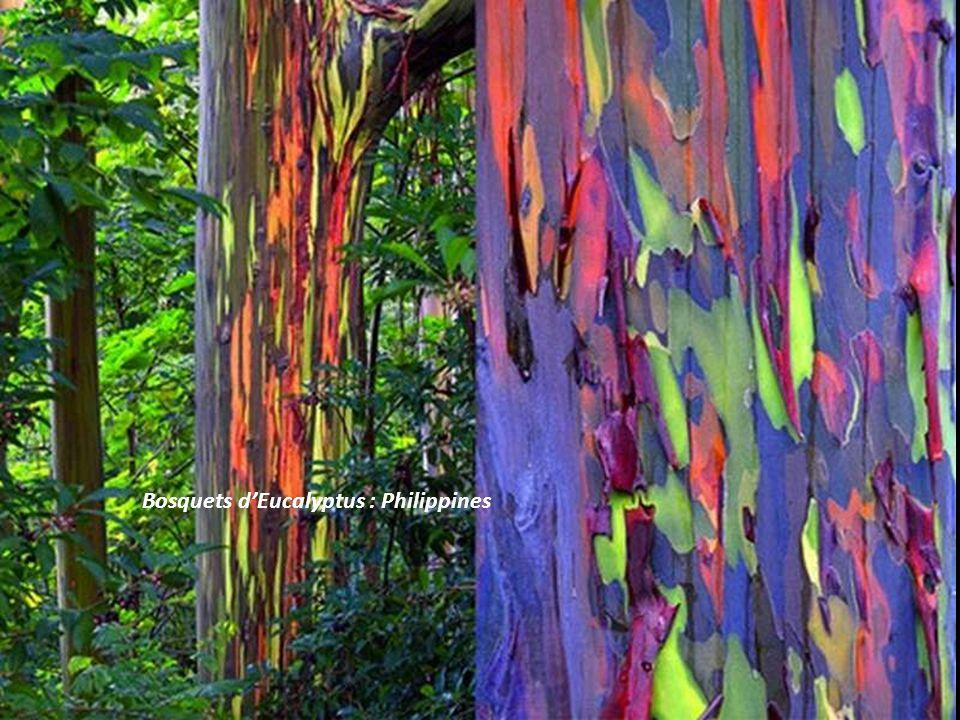 Bosquets d'Eucalyptus : Philippines