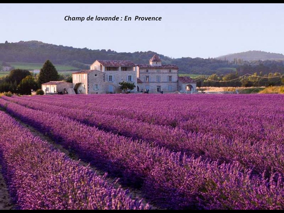Champ de lavande : En Provence