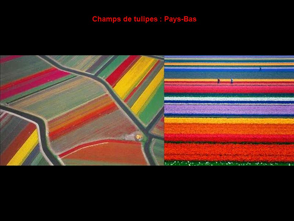 Champs de tulipes : Pays-Bas