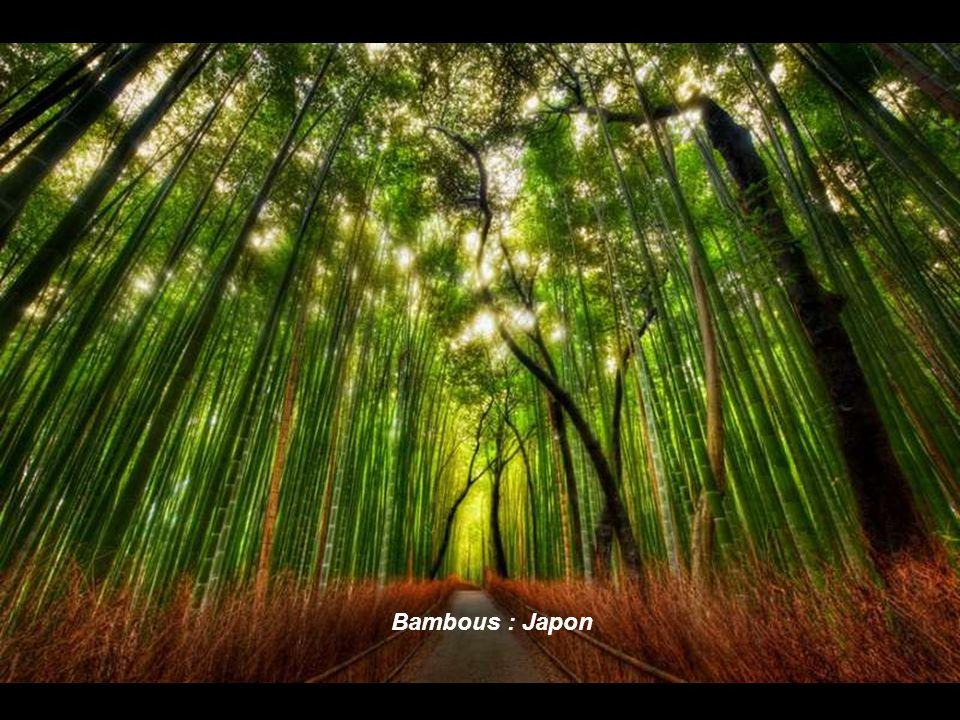 Bambous : Japon