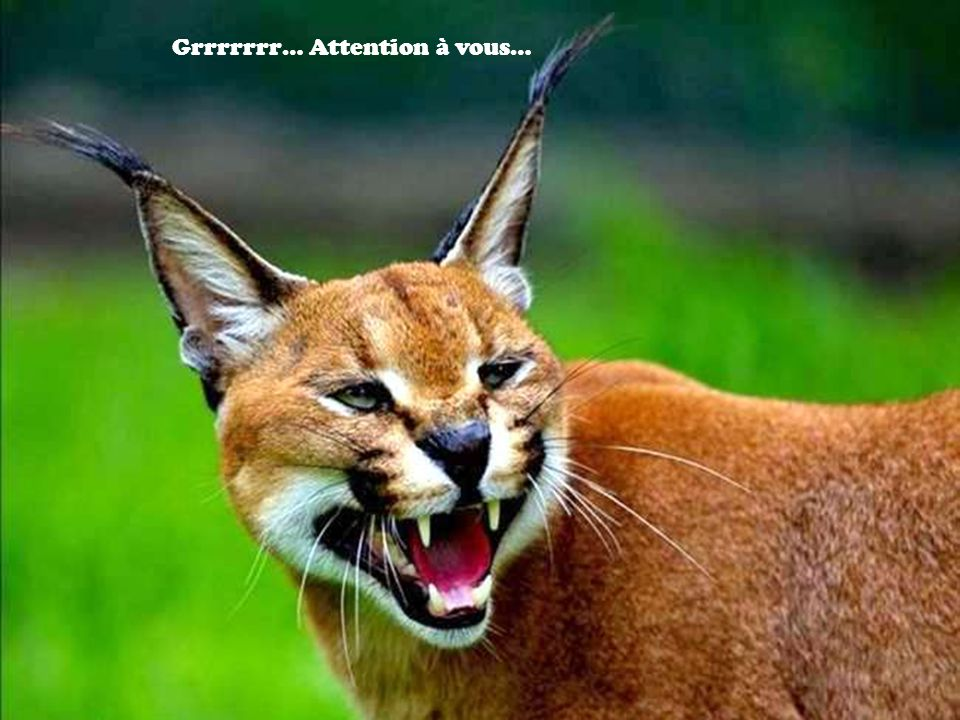 Grrrrrrr… Attention à vous…