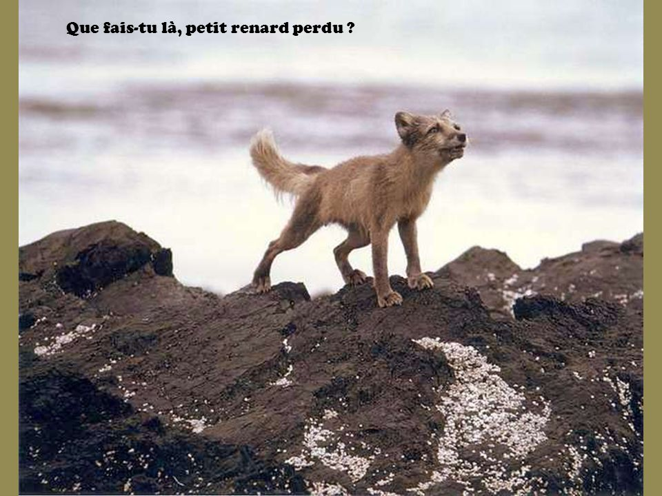 Que fais-tu là, petit renard perdu