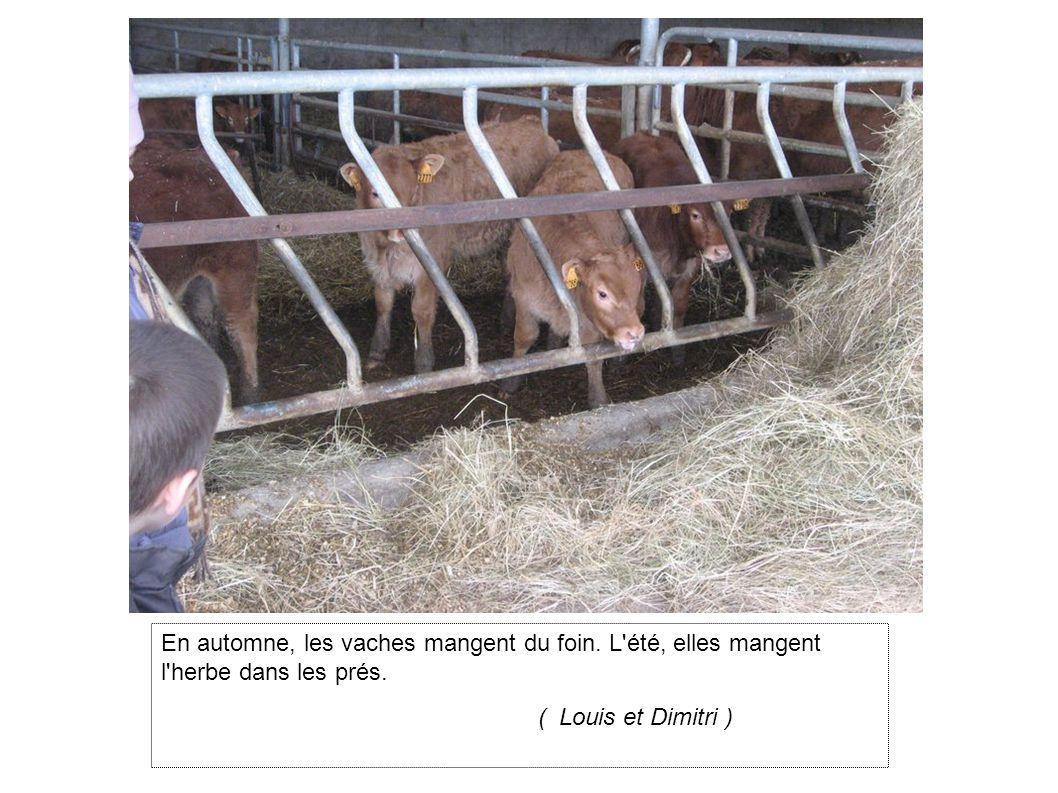 En automne, les vaches mangent du foin