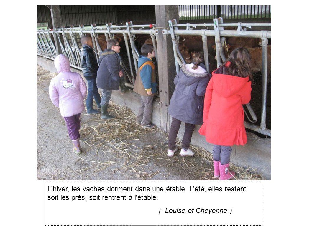 L hiver, les vaches dorment dans une étable