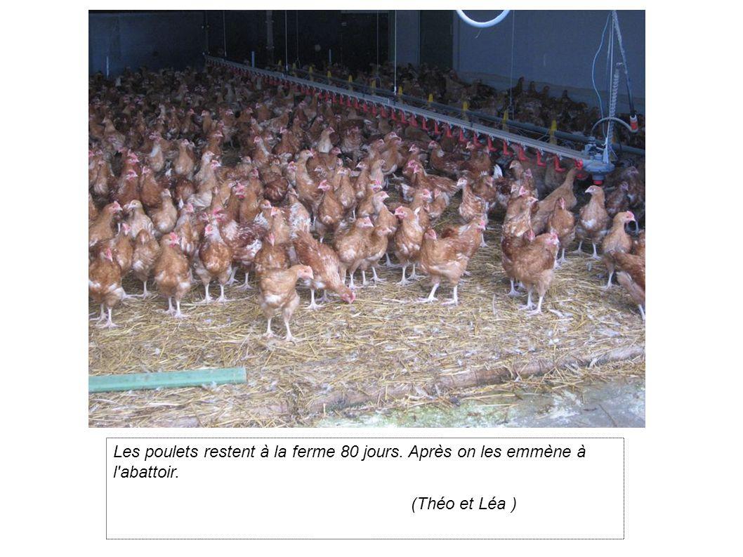 Les poulets restent à la ferme 80 jours