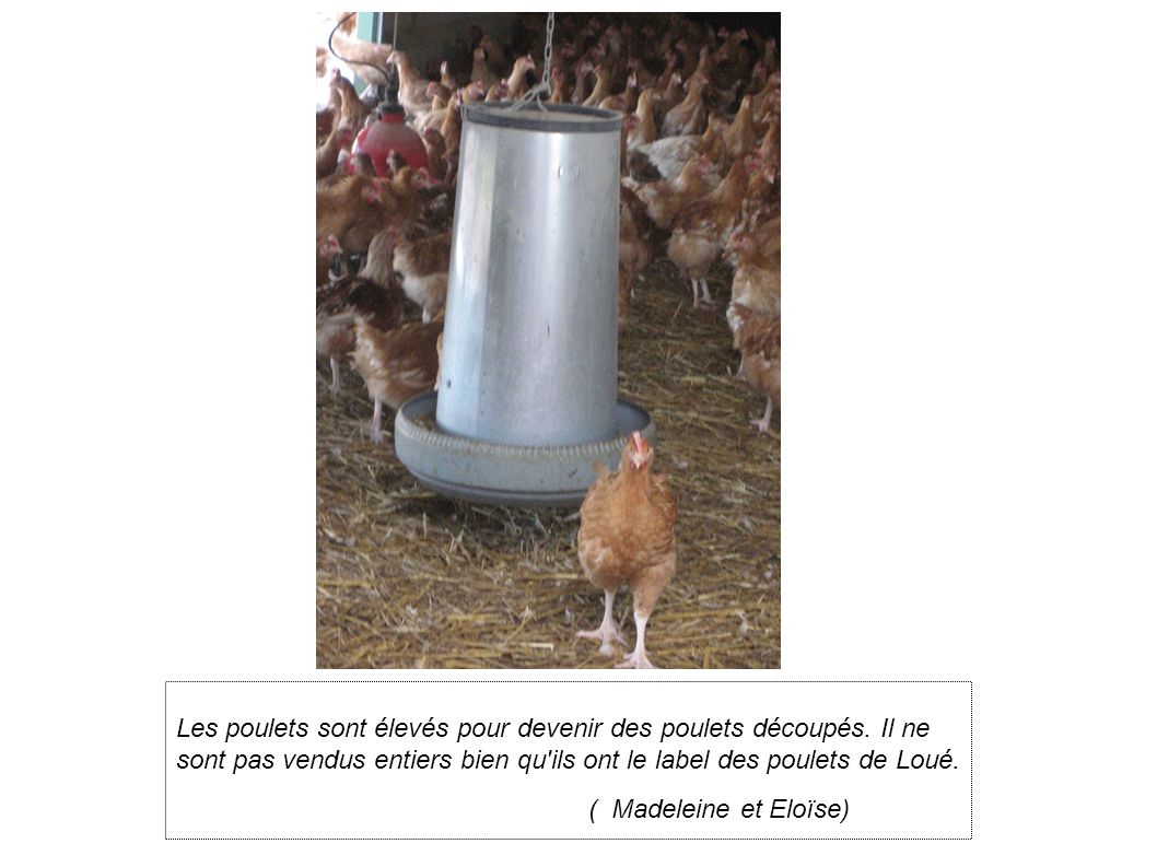 Les poulets sont élevés pour devenir des poulets découpés