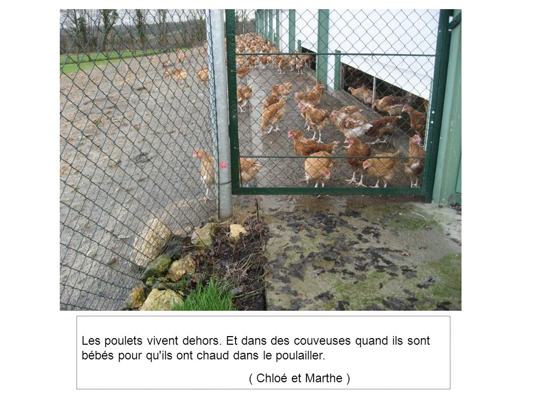 Les poulets vivent dehors