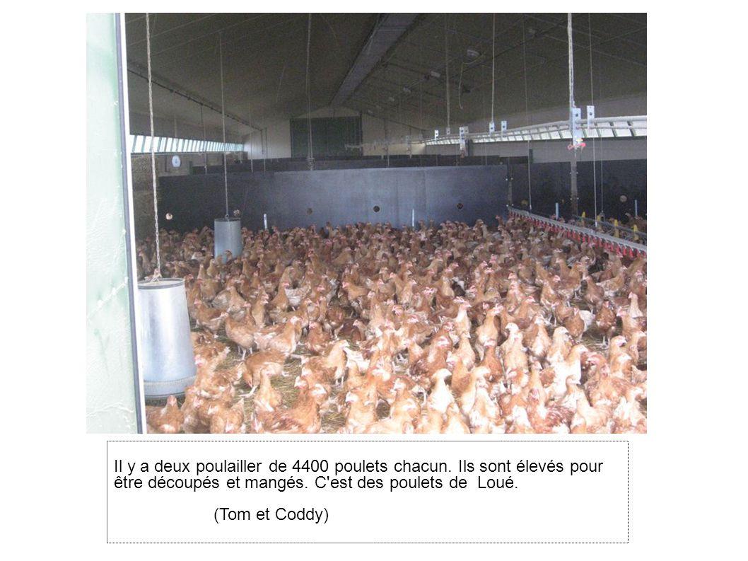 Il y a deux poulailler de 4400 poulets chacun