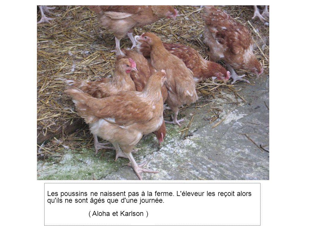 Les poussins ne naissent pas à la ferme
