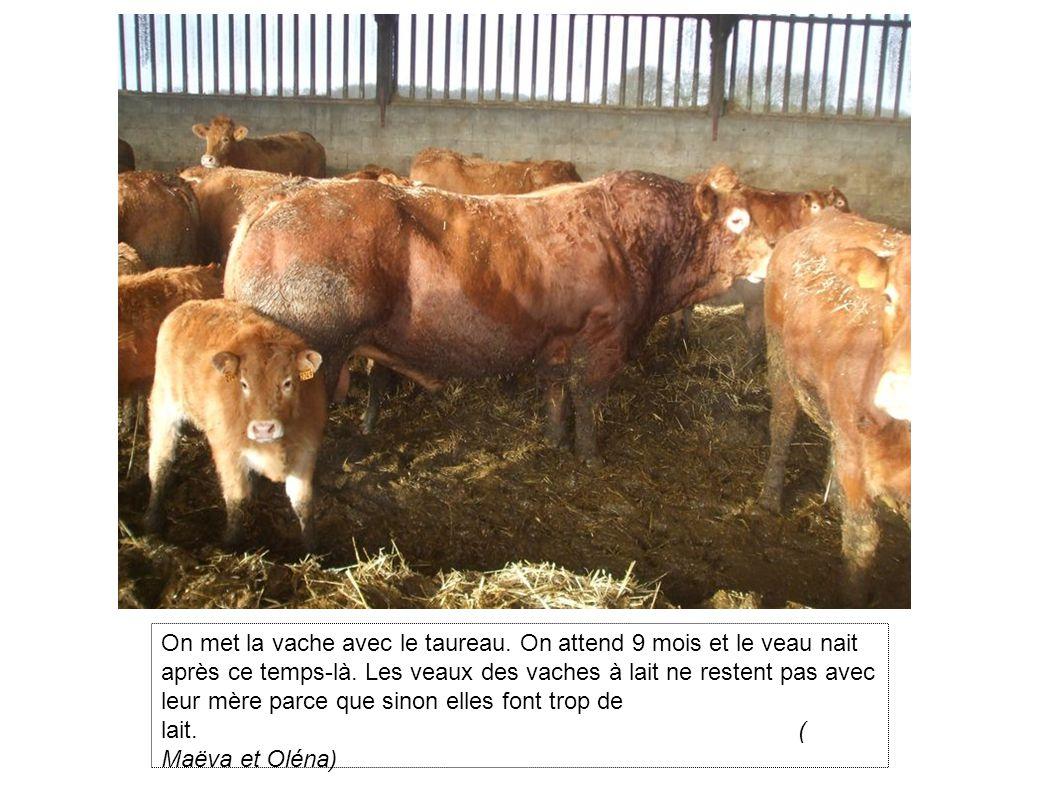 On met la vache avec le taureau