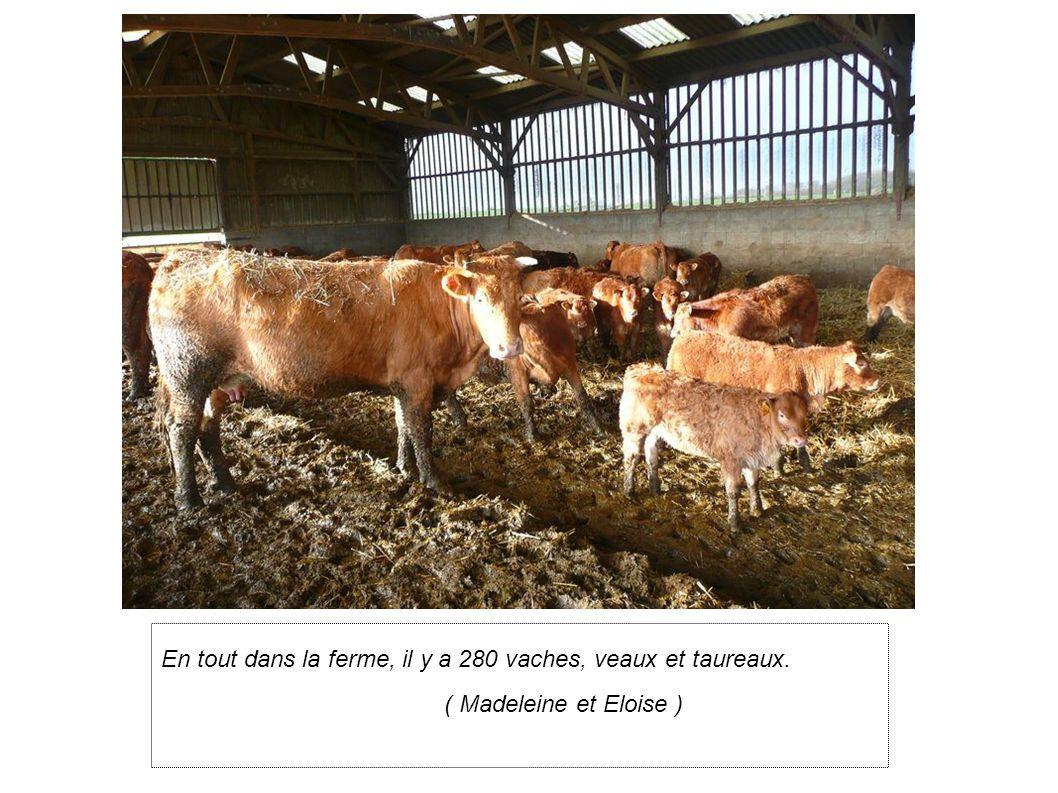 En tout dans la ferme, il y a 280 vaches, veaux et taureaux.