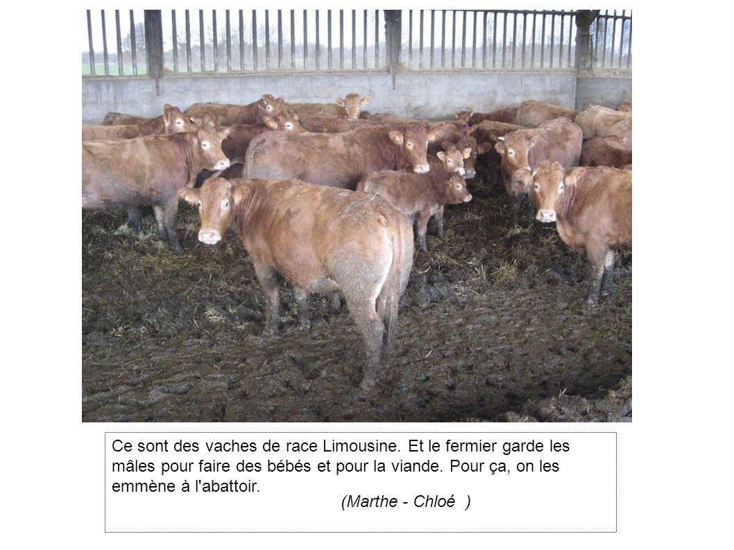 Ce sont des vaches de race Limousine