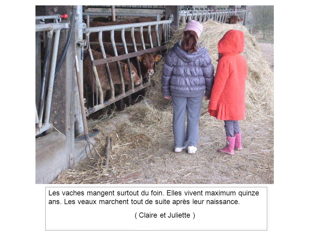 Les vaches mangent surtout du foin. Elles vivent maximum quinze ans