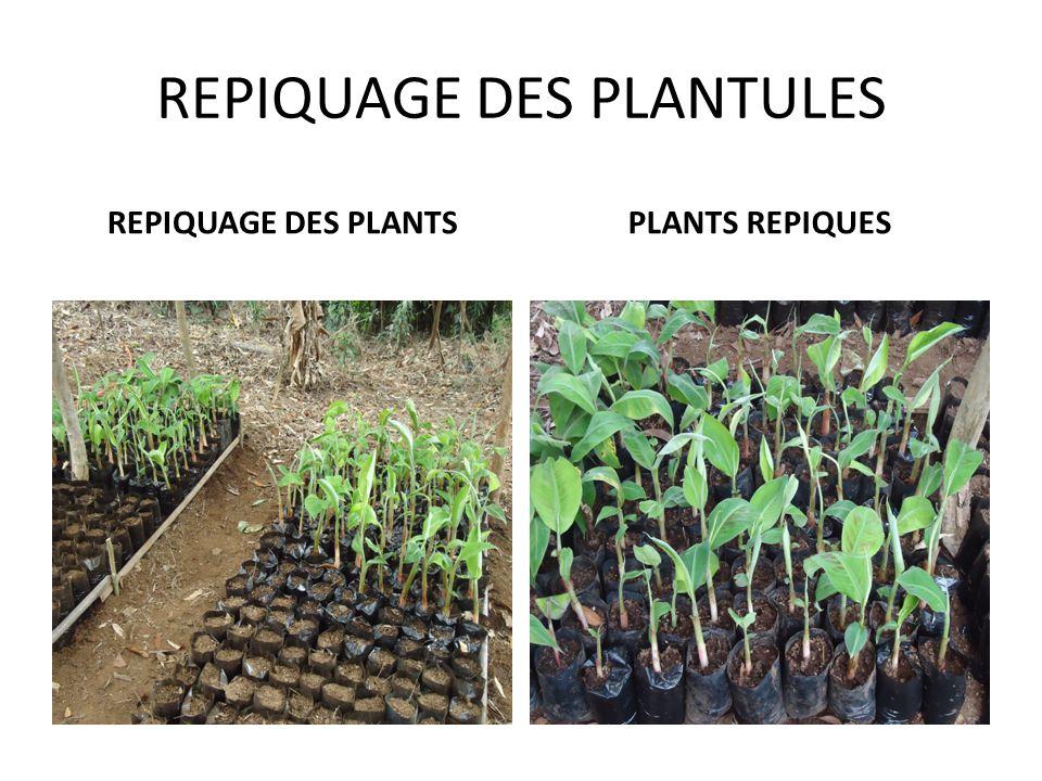 REPIQUAGE DES PLANTULES