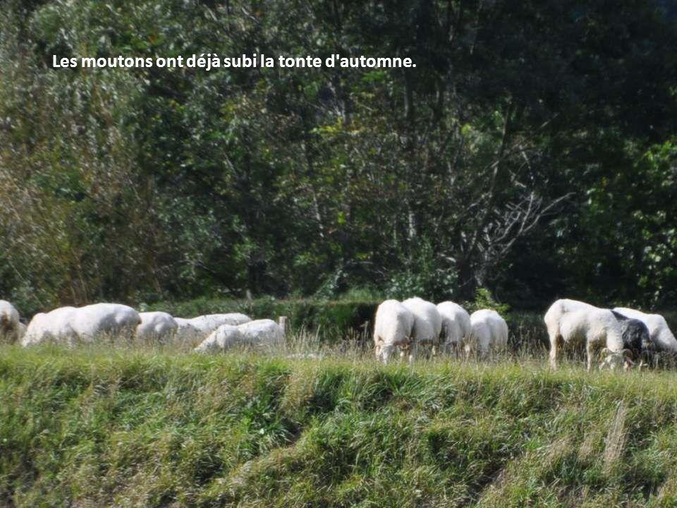 Les moutons ont déjà subi la tonte d automne.