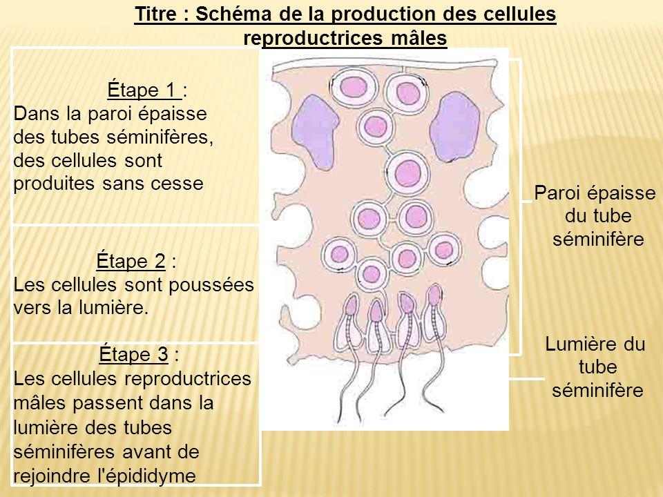 Titre : Schéma de la production des cellules