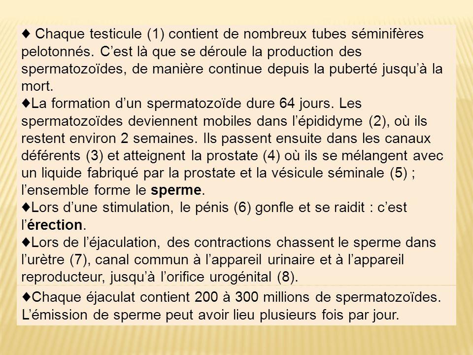 ♦ Chaque testicule (1) contient de nombreux tubes séminifères pelotonnés. C'est là que se déroule la production des spermatozoïdes, de manière continue depuis la puberté jusqu'à la mort.