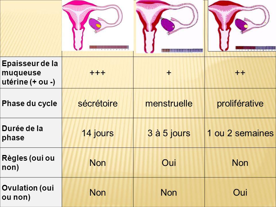 +++ + ++ sécrétoire menstruelle proliférative 14 jours 3 à 5 jours