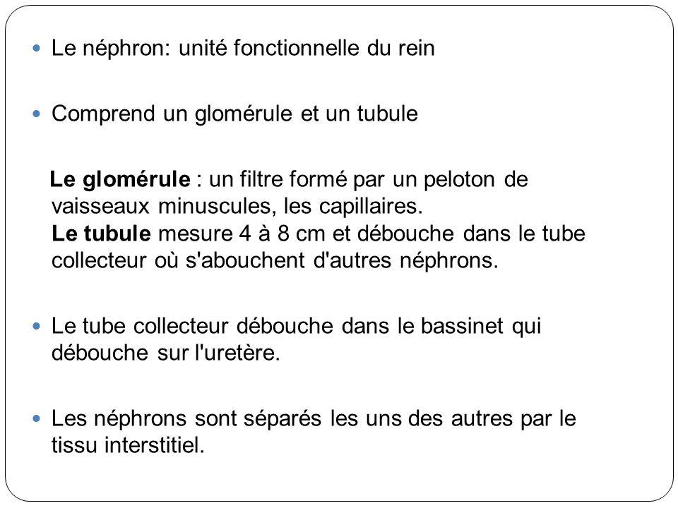 Le néphron: unité fonctionnelle du rein