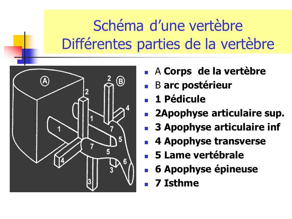 Schéma d'une vertèbre Différentes parties de la vertèbre