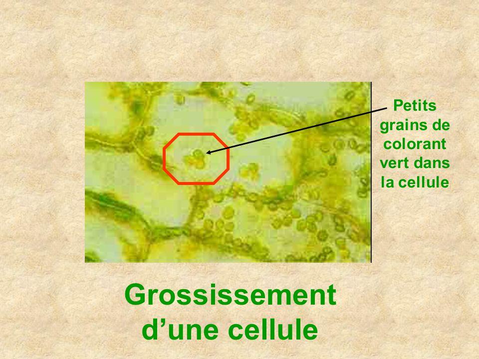 Grossissement d'une cellule