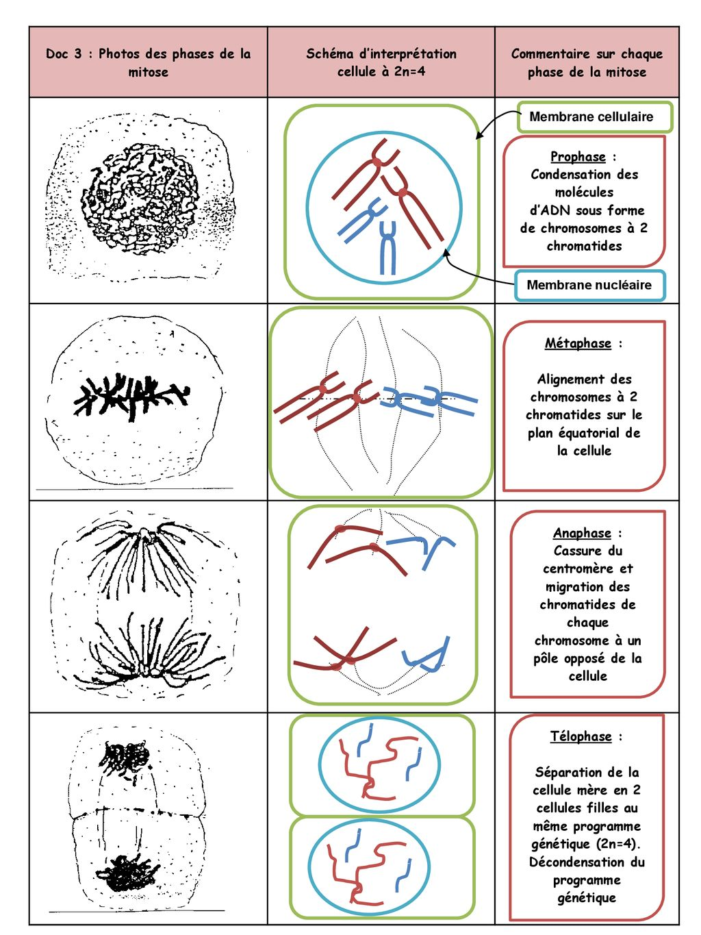 Doc 3 : Photos des phases de la mitose