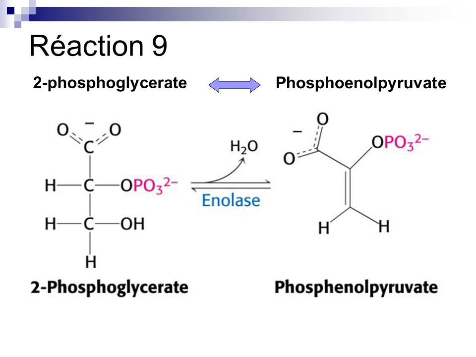Réaction 9 2-phosphoglycerate Phosphoenolpyruvate