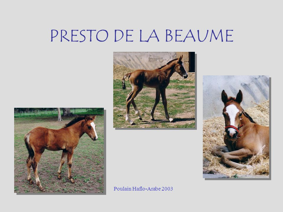 PRESTO DE LA BEAUME Poulain Haflo-Arabe 2003