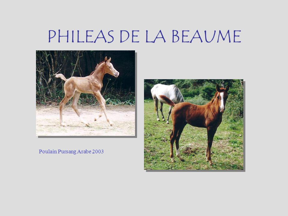 PHILEAS DE LA BEAUME Poulain Pursang Arabe 2003