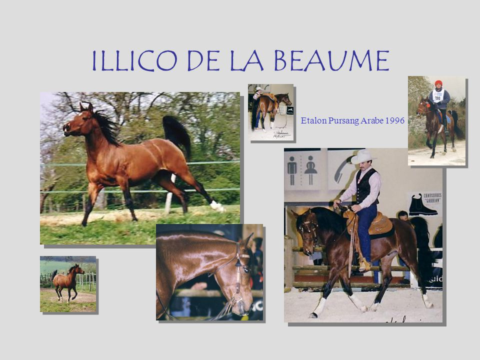ILLICO DE LA BEAUME Etalon Pursang Arabe 1996