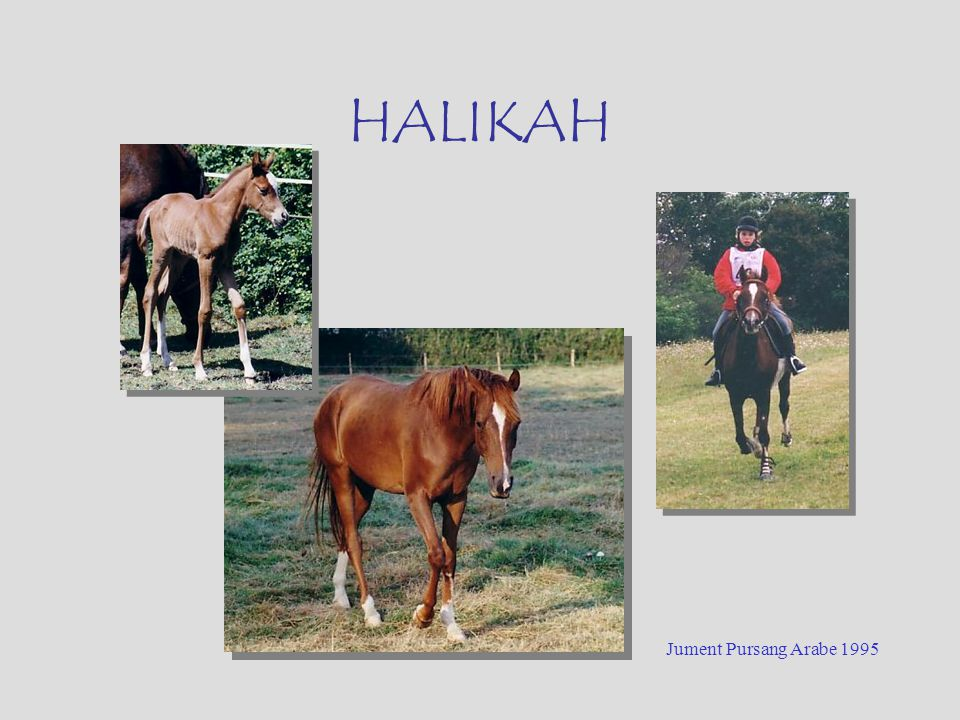 HALIKAH Jument Pursang Arabe 1995