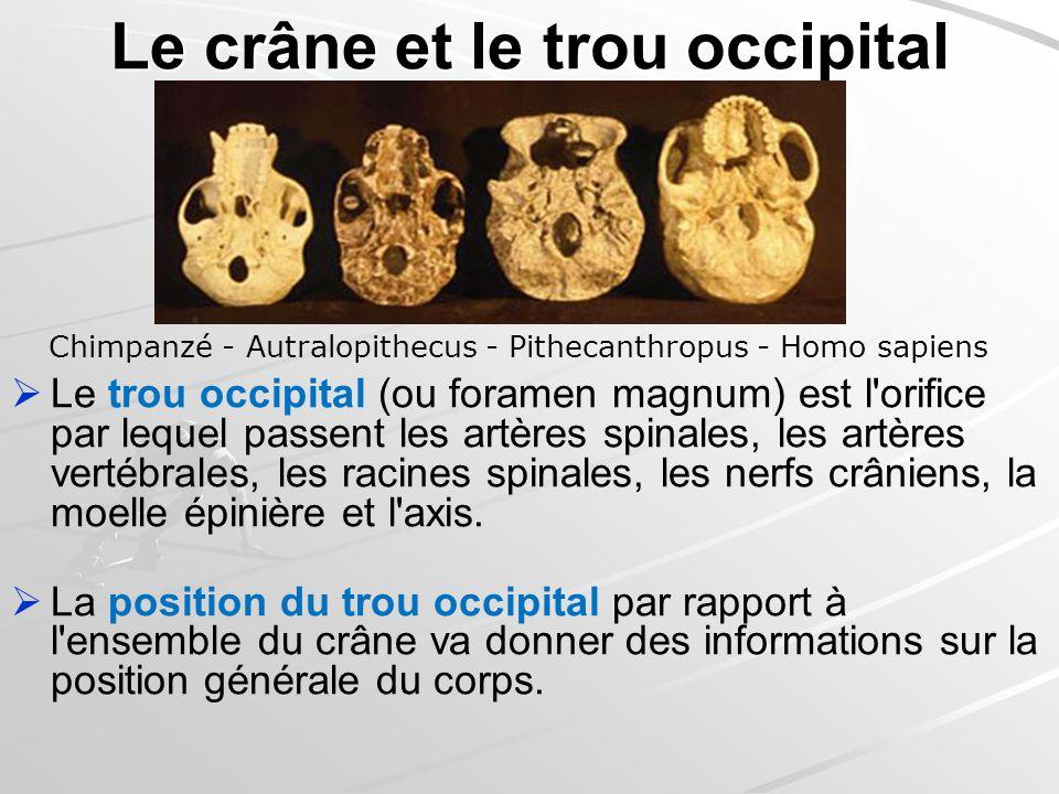Le crâne et le trou occipital