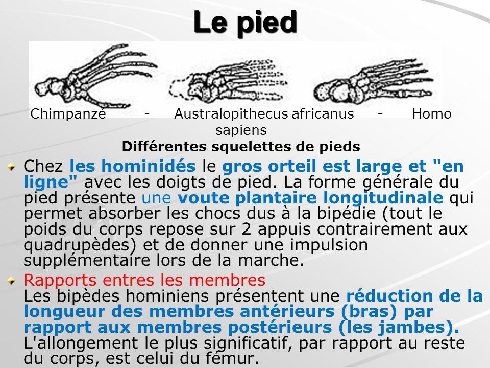 Le pied Chimpanzé - Australopithecus africanus - Homo sapiens Différentes squelettes de pieds.