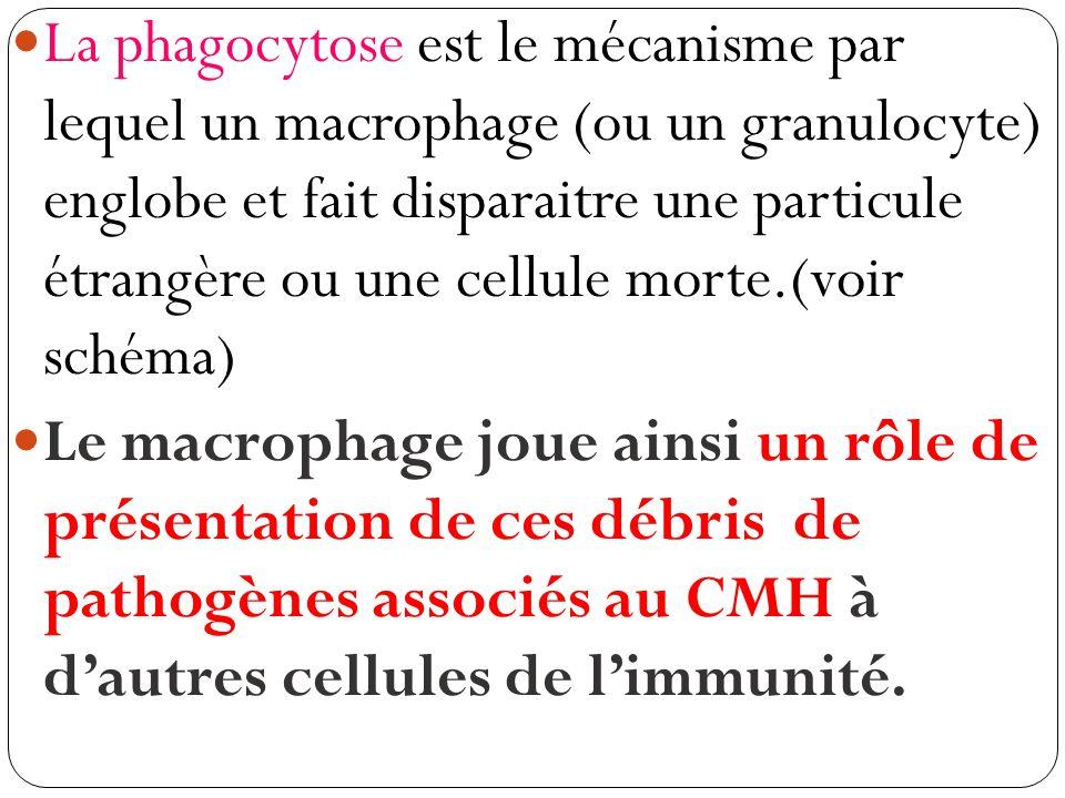 La phagocytose est le mécanisme par lequel un macrophage (ou un granulocyte) englobe et fait disparaitre une particule étrangère ou une cellule morte.(voir schéma)